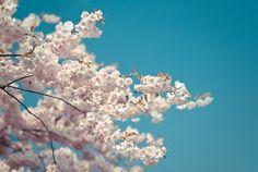 Cherry blossom represent feminine beauty, i want one! ♥