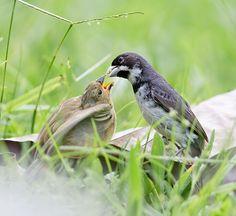 Foto coleirinho (Sporophila caerulescens) por Gabriel Mello | Wiki Aves - A Enciclopédia das Aves do Brasil