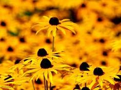 Black Eyed Susan's - reminds me of North Louisiana where they grow in the median of the highway.
