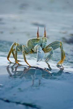 Crab, Cocos Islands
