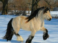 Gypsy Vanner Stallions - Bing Images