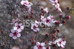 The Manuka flower in bloom on a Tea Tree in soft focus. Manuka Oil, Tree Images, Photo Tree, Medicinal Plants, Tea Tree Oil, Native Plants, Image Now, New Zealand, Medicine