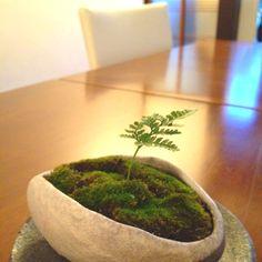 Kokedama-fern in flat dish