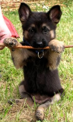 German Shepard adorableness