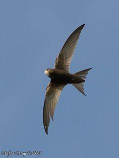 apus apus, common swift
