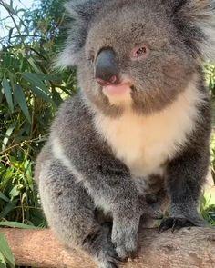 Funny Koala, Cute Funny Animals, Cute Baby Animals, Animals And Pets, Nature Animals, Koala Meme, Wild Animals, Amazing Animals, Animals Beautiful