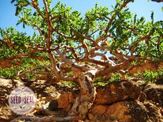 Frankincense Tree from Oman