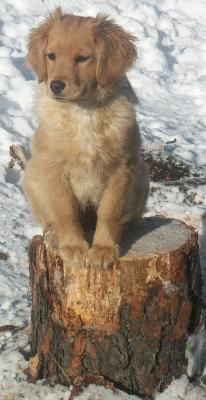 6 Month Old Golden Retriever Puppy Golden Retriever Old Golden