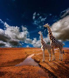 The Crossing.  Auckland, New Zealand.  Composite of: Mahurangi (foreground). Cornwall Park (sky). Giraffes (Auckland Zoo).  www.zarirmadon.com