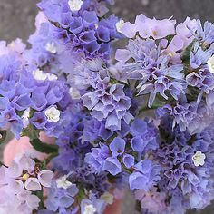 Seeker Pastel Blue Statice, Limonium sinuatum: Clear shades of pastel blue and lavender with a few contrasting white florets