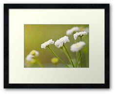 """White Flowers"" by Thierry Wojtczak. Available for sale at http://www.redbubble.com/people/thierrywojtczak/shop"