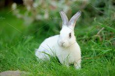 Rabbit Photos Baby rabbit in grass. Summer day by byrdyak