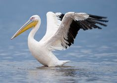 Great white pelican - Google Search