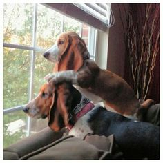14 Reasons Basset Hounds Are The Worst Indoor Dog Breeds Of All Time