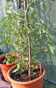Care and Feeding Vegetables in Containers