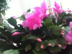 Holiday Cactus (schlumbergera): Your plant is a holiday cactus (we could call them Christmas cactus but it's closer to Thanksgiving!), a succulent that needs bright indirect light indoors, moderate to regular water, and a slow-release fertilizer formulated for blooming container plants. Do not allow plant to sit in water as this may lead to root rot. Christmas Cactus, Container Plants, Closer, Succulents, Bloom, Thanksgiving, Bright, This Or That Questions, Water