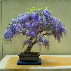 Bonsai de jacarandá blue