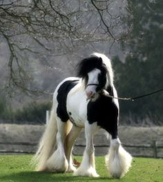 This is a Gypsy Cob named 007 from Clononeen Farm.