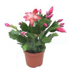 kaktusz   kaktuszok   pozsgás dísznövények - Fitoland.hu - Karácsonyi kaktusz (Rhipsalidopsis)