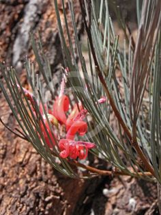 Grevillea erectiloba is a shrub which is endemic to Western Australia. It usually grows to a height of between 1 and 3 metres and produces red flowers between September and October in its native range