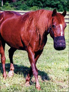Muzzle Your Horse to Prevent Obesity and Laminitis