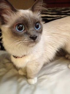 I need a munchkin cat in my life! Not only is this one a munchkin, it's Siamese. <3