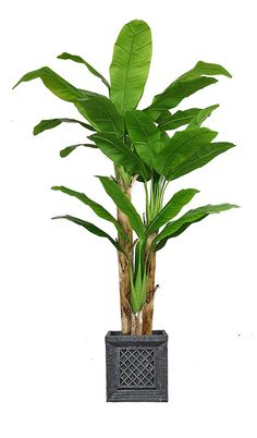 Laura Ashley VHX117215 Banana Tree with Real Touch Leaves Planter, 78' * Check out this great product.