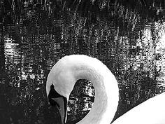 Cisne Swan Zwaan