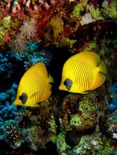 Red Sea - #Egypt #butterflyfish #yellow