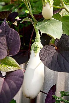 Burgundy sweet potato vine is an easy way to add color to a pot - and here in the garden it's cute contrast to the 'Easter egg' eggplant.