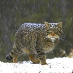 Magnificent wildcat of Scotland - by Pete Cairns, Scottish Cairns, Baby Animals, Cute Animals, Wild Animals, Funny Animals, Amor Animal, Forest Cat, Leopards, Cat Memes