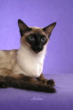 balinese cat   Balinese Cat   Pictures of Cats
