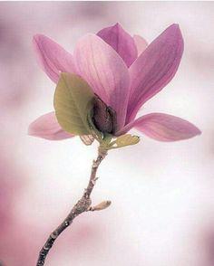 Magnolia ** by rvtn Light Purple Flowers, Exotic Flowers, Amazing Flowers, My Flower, Flower Art, Pink Flowers, Beautiful Flowers, Pink Roses, Cactus Flower