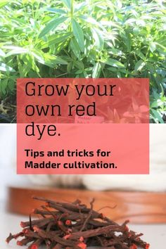 Want your own dye garden? Madder has been THE source for a lightfast red dye since ancient times. Natural Dye Fabric, Natural Dyeing, How To Dye Fabric, Dyeing Fabric, Dyeing Yarn, Buy Seeds, Hardy Perennials, Plant Care, Natural Materials