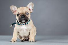 Cutest #FrenchBulldog ever!