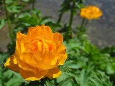 Globe Flower @ Jardin Alpin du Col du Lautaret #GlobeFlower #Flower #Lautaret #JardinAlpinDuColDuLautaret #Provence #France
