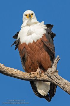 African Fish Eagle - An African fish eagle perched above the Chobe River in Botswana, Africa. - by Henrik Nilsson on 500px