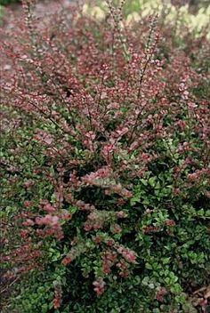lonicera red tip - structure plant for foundation corner