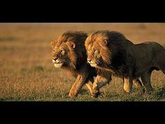 Alpha Predator The Lion - HD Full Documentary - AmazingTv