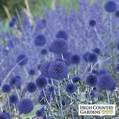 Blue Glow is an Old World wildflower that blooms in mid-summer. The deep blue globe-like flowers are held high above the attactive thistle-like foliage. One of the very best flowers for attracting bees and butterflies to your garden.