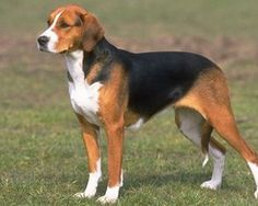 A foxhound is a type of large hunting hound. Foxhounds hunt in packs and, like all scent hounds, have a strong sense of smell. They are used in hunts for foxes, hence the name. When out hunting they are followed usually on horseback and will travel several miles to catch their target. The foxhound is also the state dog in Virginia.
