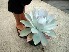 Echeveria cante - from cacti.co.nz