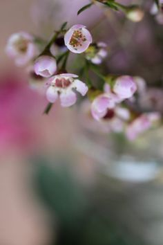 Waxflower photographie couleur