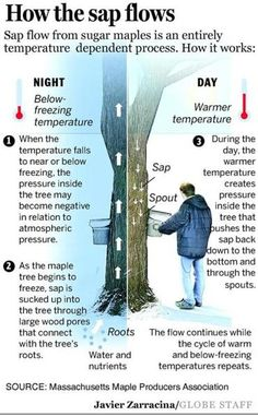 Syrup makers toil winter - Record winter temperatures are wreaking havoc with maple tree systems, forcing syrup producers to tap trunks early to catch the best, most sugary sap. Homestead Survival, Camping Survival, Survival Skills, Survival Prepping, Permaculture, Maple Syrup Taps, Living Off The Land, Wild Edibles, Thinking Day