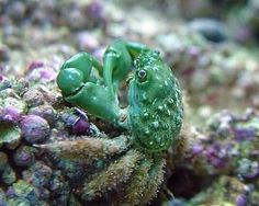 Green Emerald Crab. This crab eats hair algae and other pests. I love mine