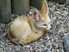 Fennec Fox @ Africa Alive, Lowestoft.jpg