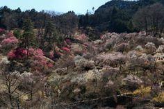 Yoshinobaigo Ome City 吉野梅郷 青梅市 梅の公園