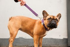 Purple dog collar and lead combo, for those with a touch of nobility but not much decorum www.hindquarters.com #frenchie #dogcollar #doglead #dogs #purple