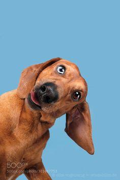 wow- one blue eye Dachshund Funny Dog Faces, Cute Funny Animals, Funny Dogs, Dapple Dachshund, Funny Dachshund, Daschund, Dachshunds, Doggies, Dane Dog
