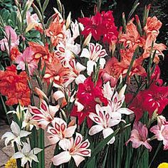 "Winter Hardy Gladiolas will bloom year after year without replanting! Use for border plants -- grow only 1-2 feet tall. Attractive height for flower arrangements and rock gardens. Fully guaranteed 6-8 cm bulbs grown in Holland. Brilliant mixed color selection. Blooms early summer. Plant 3-6"" deep and 4-6"" apart."